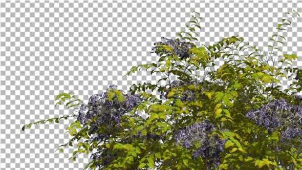 Thumbnail for Japanese Angelica Swaying Tree With Blue