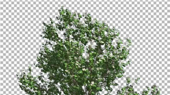 Thumbnail for Korean Stewartia Swaying Tree is Swaying
