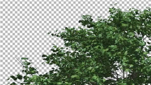 Thumbnail for Kousa Dogwood Swaying Tree Crown Tree is Swaying