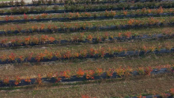 Passing By Rows of Blueberry Bushes in the Fall. Blueberry Farm. Autumn Shades of Berries, Red