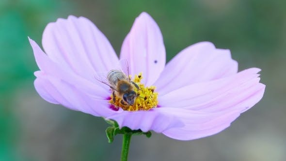 Thumbnail for Bee On a Cosmos Flower