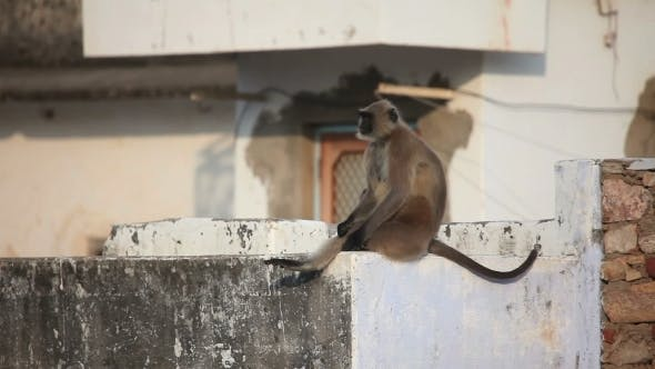 Cover Image for Gray Langur Sitting On The Roof