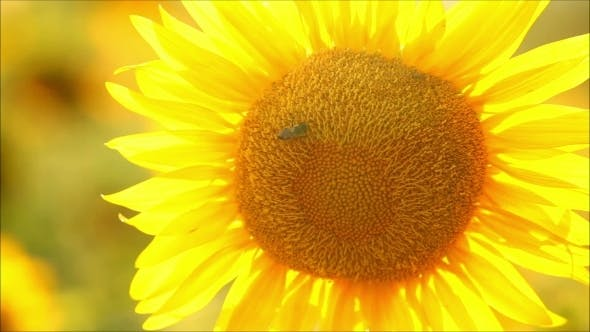 Thumbnail for Sunflowers On a Sunny Day