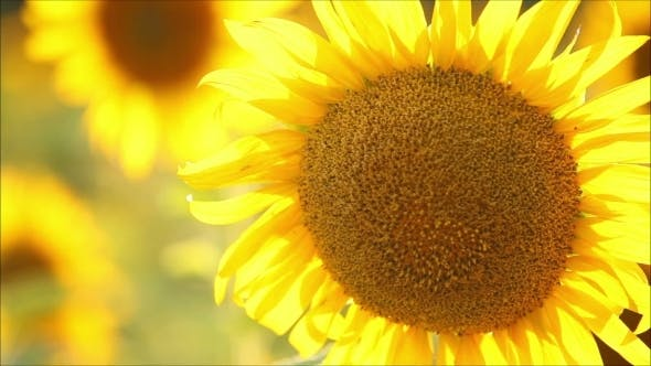 Cover Image for Flowers Sunflower On a Summer Evening