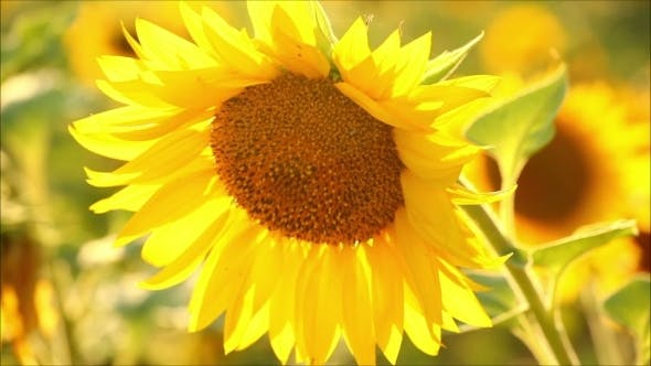 Thumbnail for Beautiful Sunflowers In The Evening