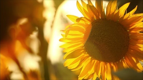 Cover Image for Sunflowers On a Sunny Day