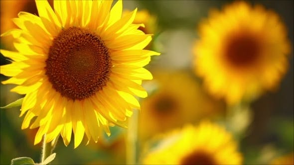 Thumbnail for Flowers Sunflower On a Sunny Summer Day