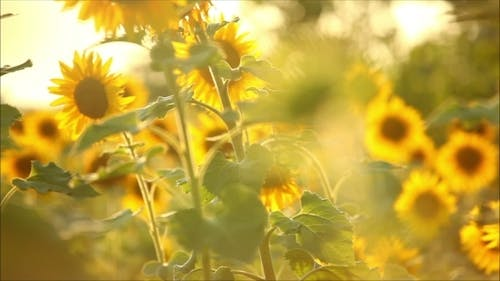 Harvest Sunflower On a Sunny Summer Day