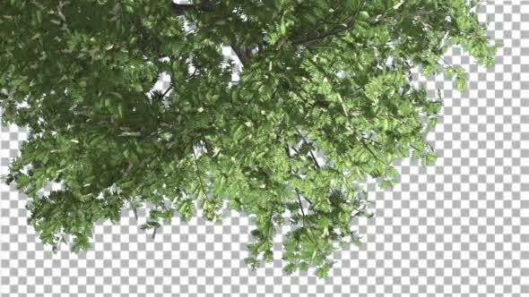 Thumbnail for Hook-Thorn Flowers Tree Top Down Crown Green