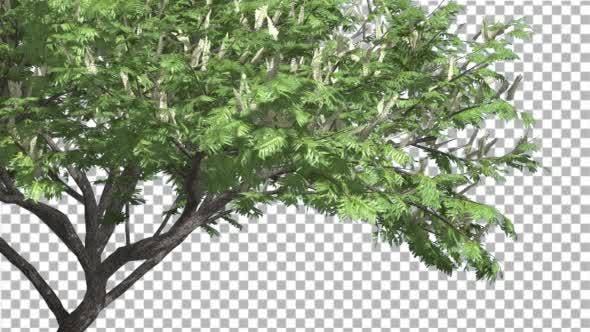 Thumbnail for Hook-Thorn Flowers Tree Green Fluttering Leaves