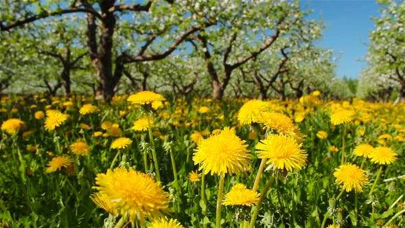 Thumbnail for Dandelions In The Apple Orchard