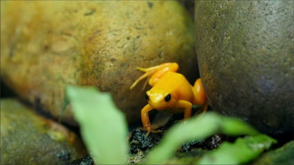 Thumbnail for Tiny Yellow Shiny Frog in Between Rocks