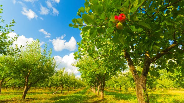 Thumbnail for Apple Orchard With Ripe Apples