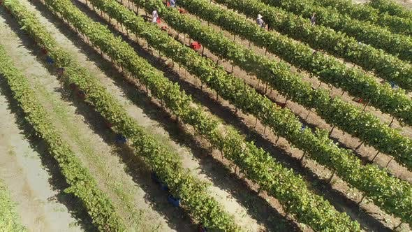 Thumbnail for Aerial view of group working in vineyard in Greece.