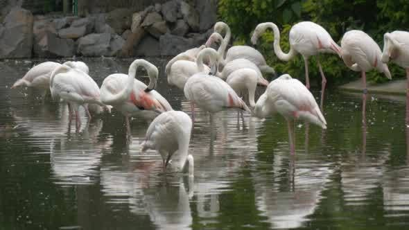 Cover Image for White Flamingos Group Are Standing, Shaking