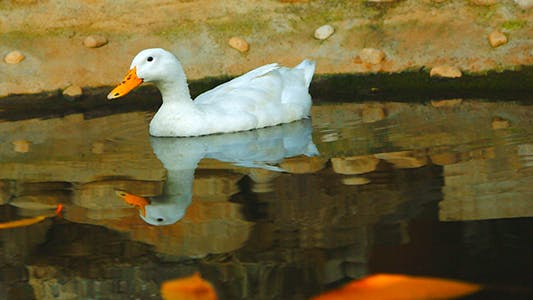 Cover Image for Duck