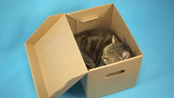 Thumbnail for A British Cat Sits in an Open Cardboard Box and Sleeps. Box with a Pet on a Blue Background.