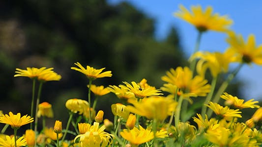 Cover Image for Yellow Daisy