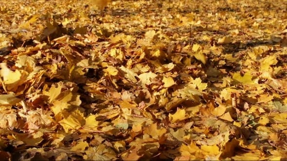 Thumbnail for Yellow Leaves Fall To The Ground In The Autumn