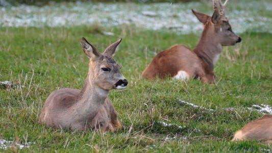 Thumbnail for Deers