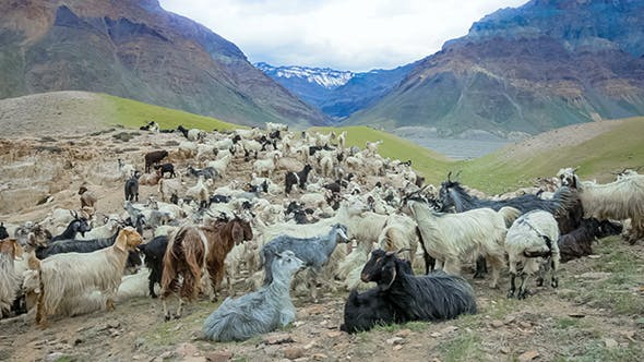 Thumbnail for Mountain Goats Spiti Valley
