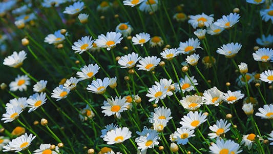 Cover Image for Wild Daisy