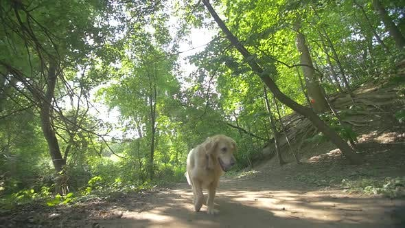 Thumbnail for Golden Retriever Dog Running Towards Camera Along Forest Path