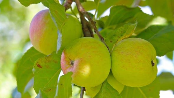 Thumbnail for Ripe Apples