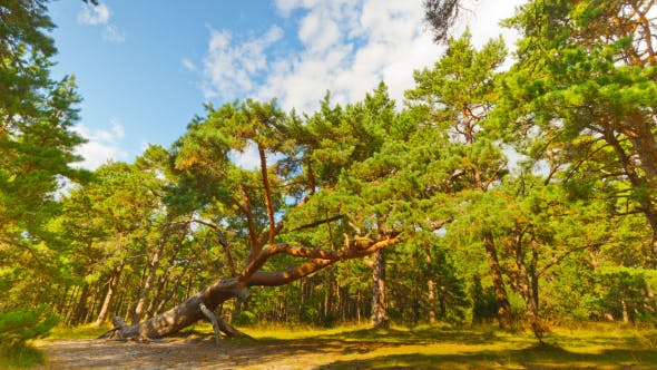 Thumbnail for Sloping Pine In The Forest