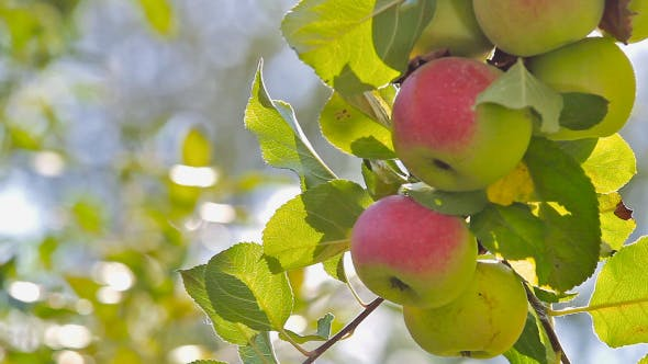 Thumbnail for Ripe Apples On A Branch