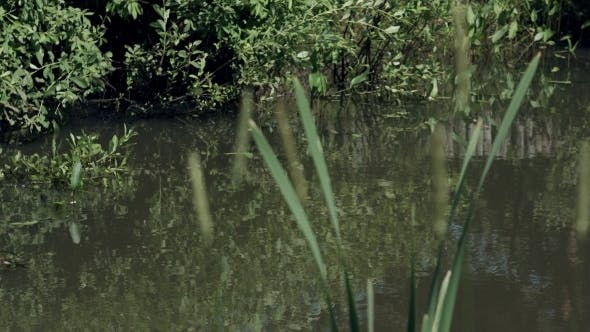 Thumbnail for Summer Pond With Reed And Reflection In Green