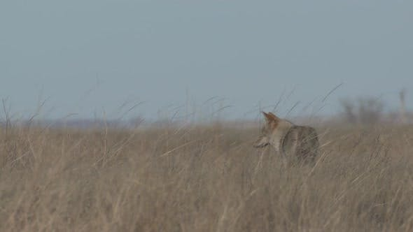 Thumbnail for Coyote Adult Lone Standing Walking in Winter in South Dakota