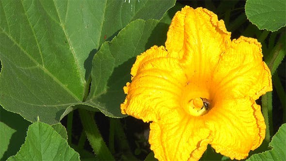 Thumbnail for A Bee Pollinating a Flower Pumpkin