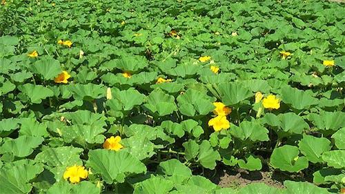 Flower Plantation of Pumpkins