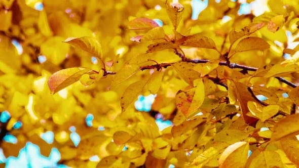 Thumbnail for Autumn Yellow Leaves On a Tree