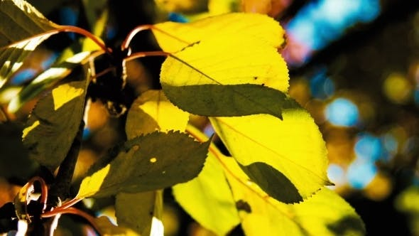 Thumbnail for Autumn. Yellow Leaves On a Tree