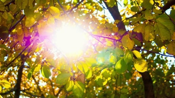 Thumbnail for The Sun Through Yellow Leaves