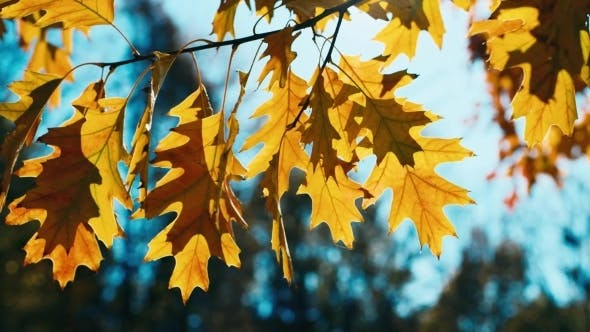 Thumbnail for Autumn Oak Leaves Swaying In The Wind