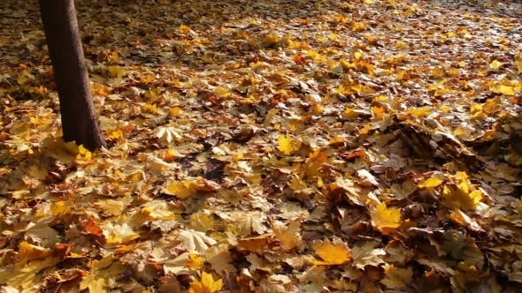 Thumbnail for Yellow Fallen Leaves In Autumn Forest.