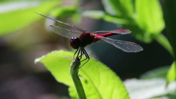 Thumbnail for Dragonfly On a Branch Plant.