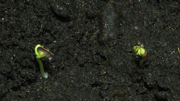 Thumbnail for Green Sprouts On Organic Soil