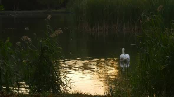 Thumbnail for White Swan Slowly Floats At The Lake In The Reeds