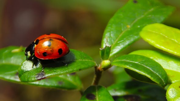 Cover Image for Ladybug On A Leaf