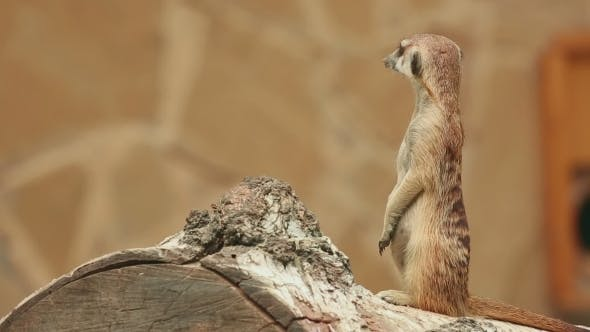 Meerkat Looking Out For Danger