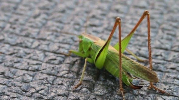 Thumbnail for Green Grasshopper