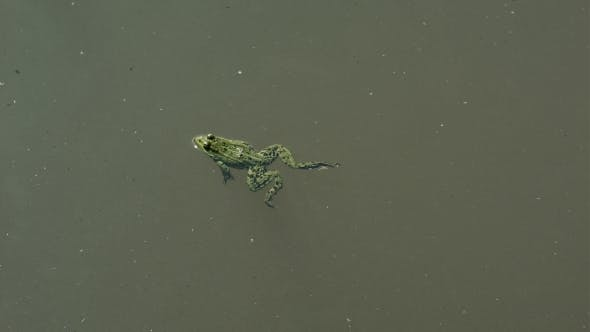 Thumbnail for Frog Swimming In a Pond
