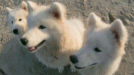 Thumbnail for White Fluffy Dog