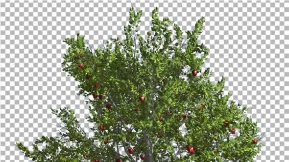 Thumbnail for Apple Tree Red Apples Cut of Chroma Key Tree on