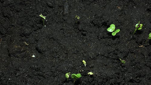 Green Sprouts On Organic Soil