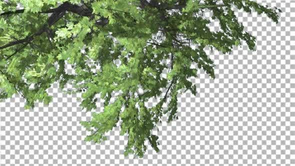 Thumbnail for Plitvice Maple Tree Cut of Chroma Key Tree on
